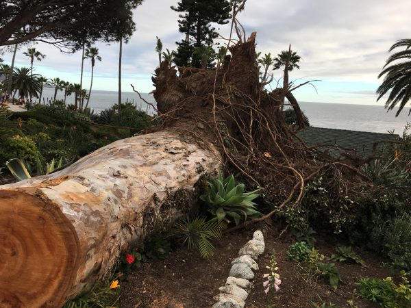 A storm-felled tree in Heisler Park.