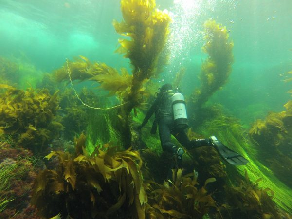 A diver studies the many kelp species of Channel Islands during the five-year protection period. Photo by Sarah Finstad.