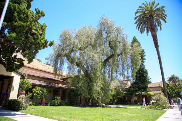 ecay has weakened the historic pepper tree outside City Hall; a replacement will be planted.Photo to by Jody Tiongco.