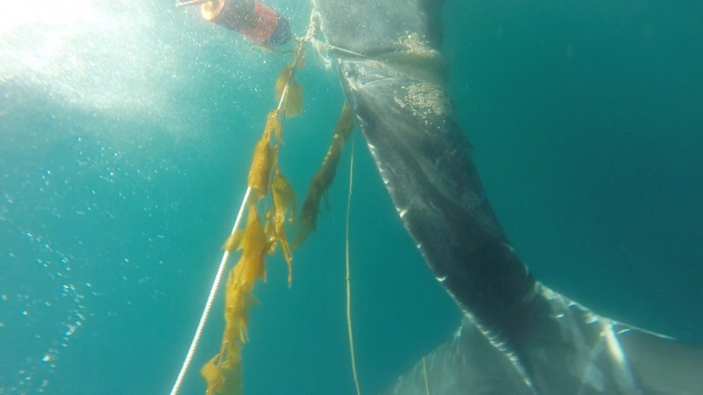An underwater view shows the line encircling the body of the whale.