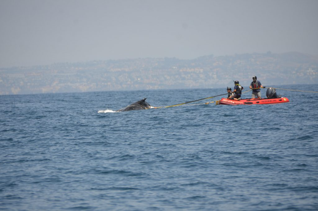 NOAA permitted and trained personnel cut a line from an entangled humpback whale near San Clemente on Sunday. An underwater view shows the line circling the whale's body. Photos courtesy of NOAA