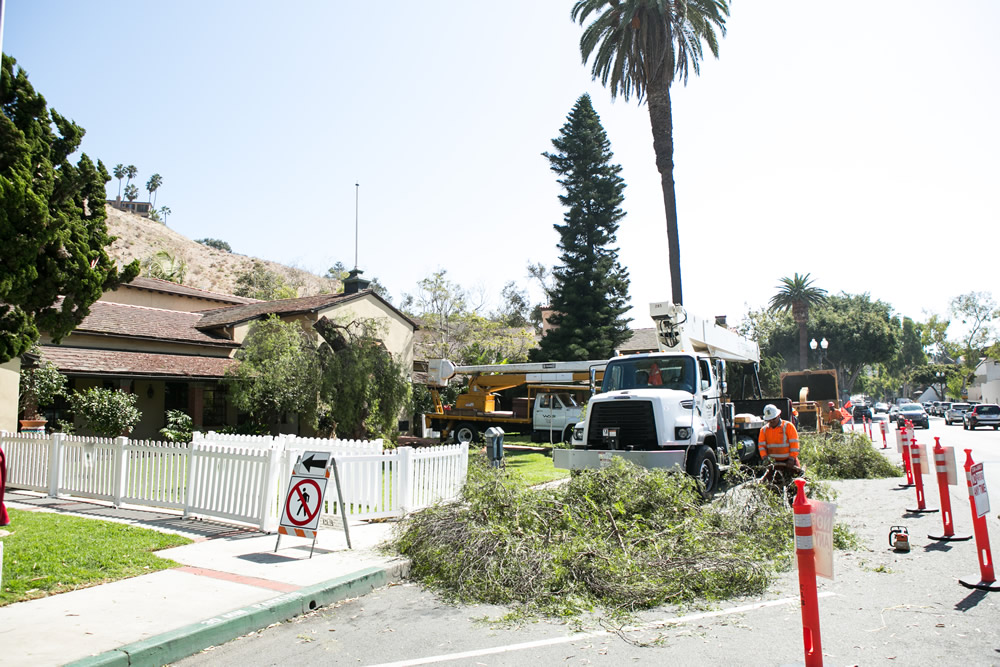 Tree trimmers chopped back to 12-foot high stumps the pendulous limbs of an ailing historic pepper tree that for decades rose to twice the height of the two-story Laguna Beach City Hall. The results by West Coast Arborists of Anaheim revealed a hollow cavity in the specimen planted by homesteader George Rogers in 1881 to shade his ranch house. City officials intend to clone sprouts from the original, which arborists discovered was in decline in 2006. Photo by Dondee Quincena.