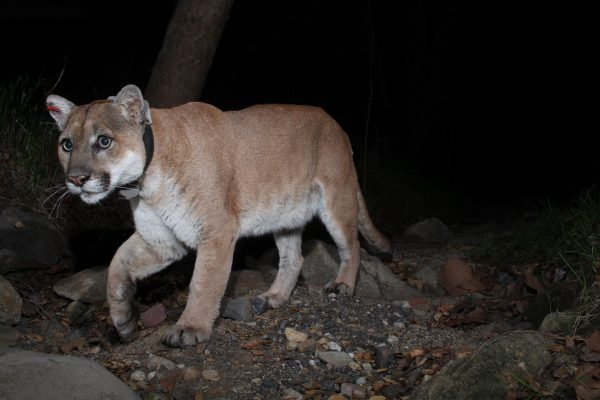Mountain lion P22, subject of a film documentary.Photo by Miguel Ordenana