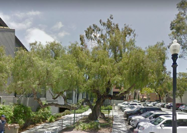 The pepper tree in Pepper Tree Parking Lot will be the focus of this year's event.