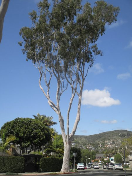 Identifying specimens, such as this lemon scented eucalyptus, are highlighted in a new walking tour.