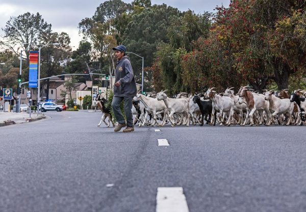 The city's hired flock of brush-consuming goats made safe passage across Laguna Canyon Road early last Saturday morning after clearing fuel around the Pageant of the Masters. They started foraging on the opposite side of the canyon, around the Sawdust Festival. Photo by MitchRidder