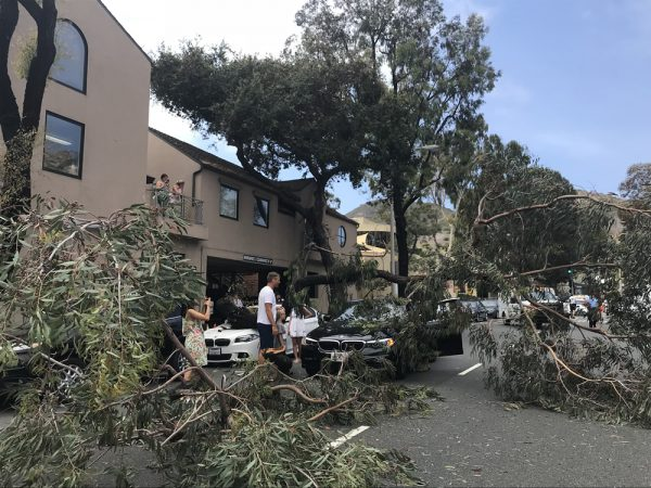 A tree exceeding 30 feet without warning topples into driving lanes of Broadway Street earlier this week. Photos by Andrea Adelson.